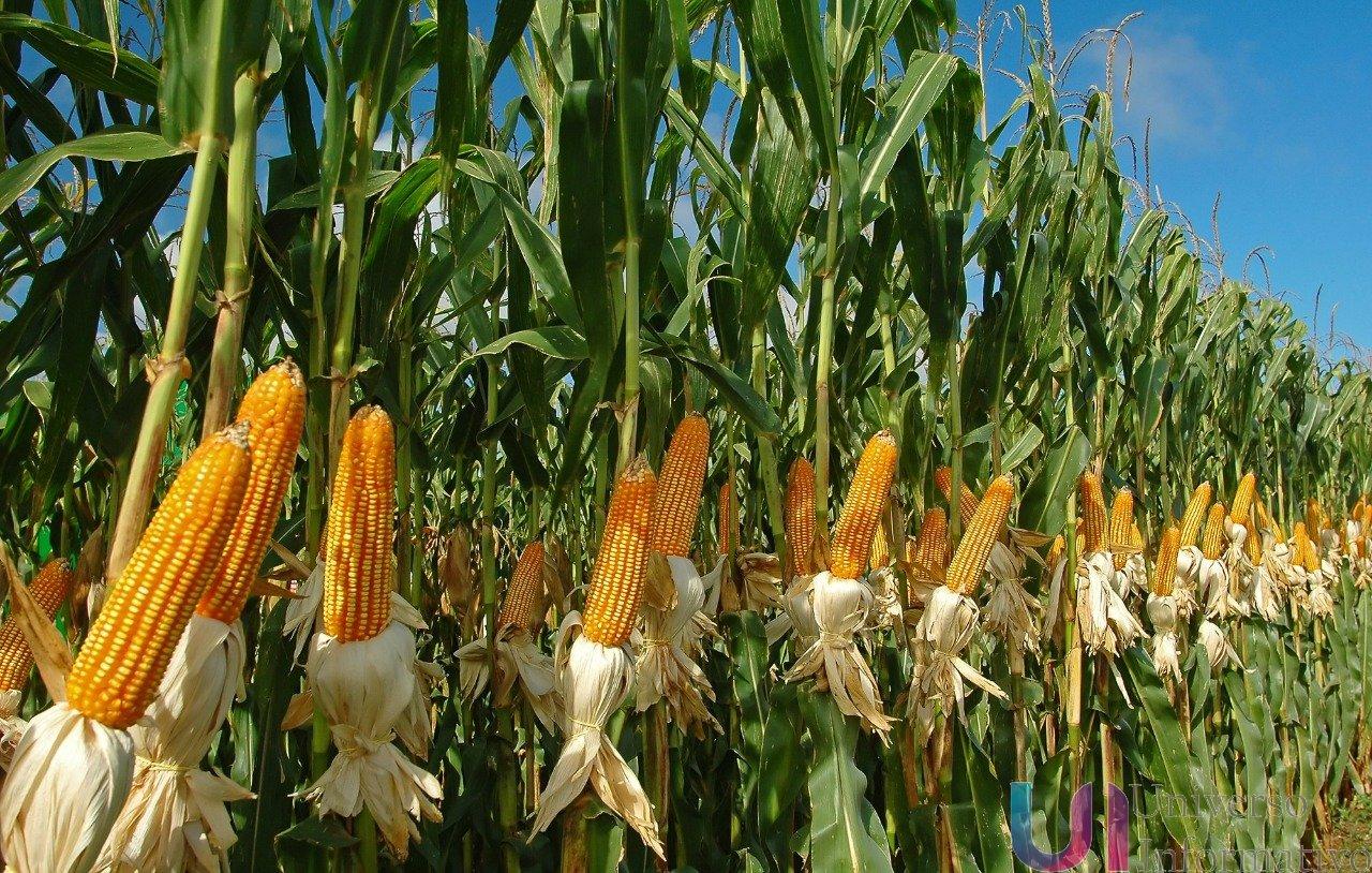 Michoacán, 4° productor de maíz en el país: Sedrua