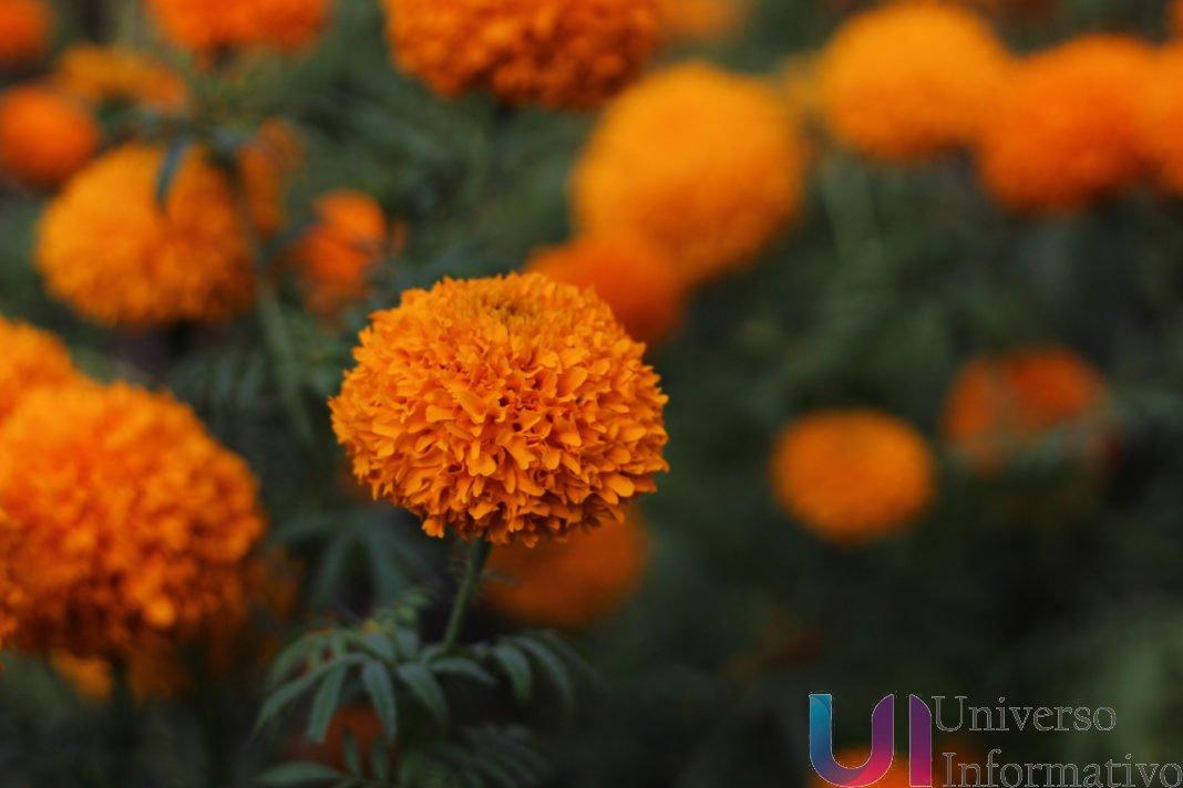 Michoacán, líder productor de  flor de cempasúchil: Sedrua