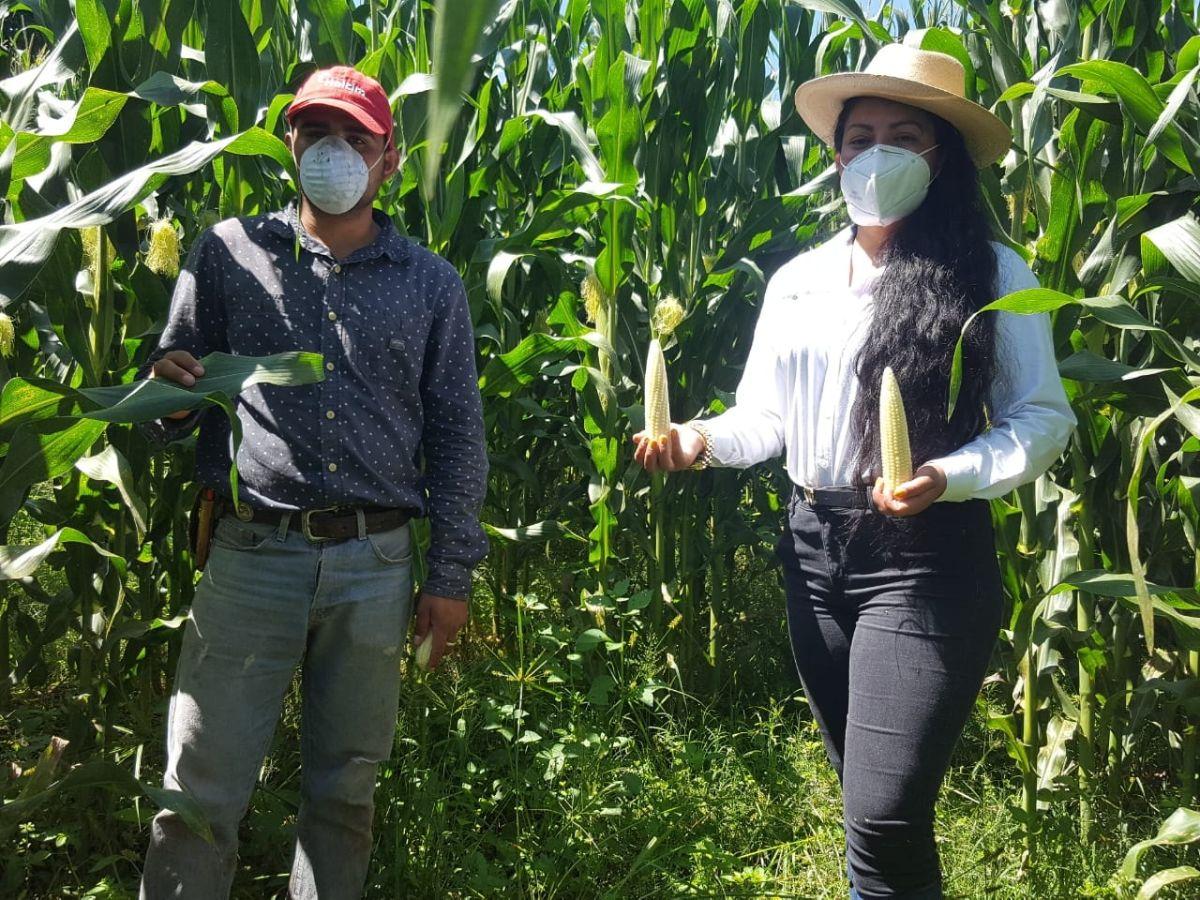 Logra Agricultura Sustentable 9 toneladas por hectárea de maíz en Pátzcuaro