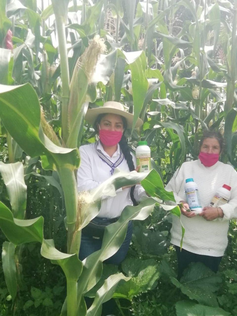 Logra Agricultura Sustentable milpa libre de plagas en Cuanajo